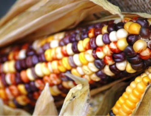 Quando raccogliere il mais: capire se la pannocchia è pronta