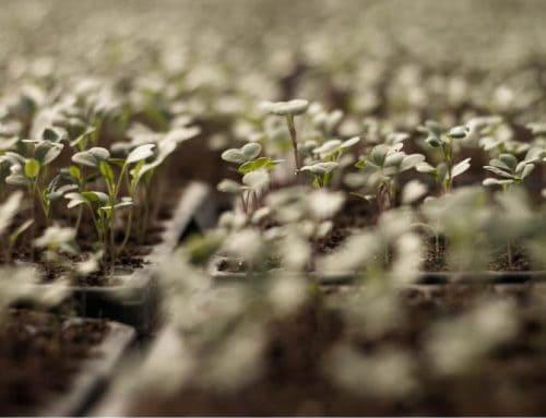 La semina in semenzaio