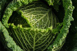 coltivazione della verza