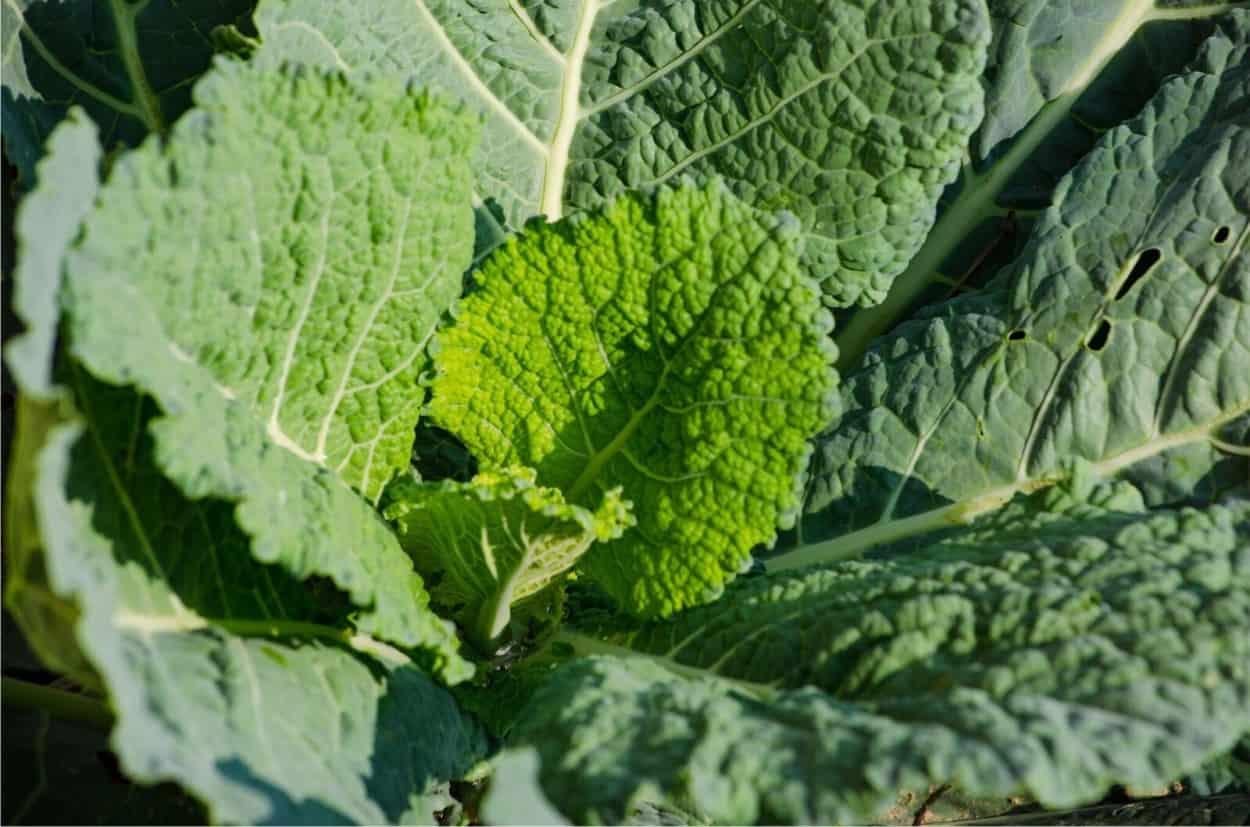 pianta di verza