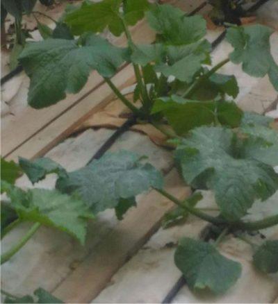 zucchina nana di milano