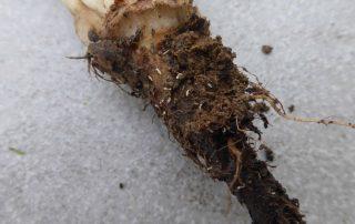 bietole: fittone con larve
