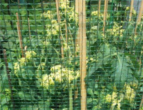 Ingiallimento delle foglie del pomodoro