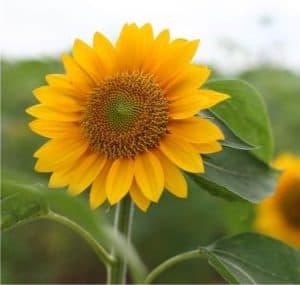 fiore eliotropico del girasole