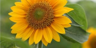 Coltivare il girasole: un fiore nell'orto