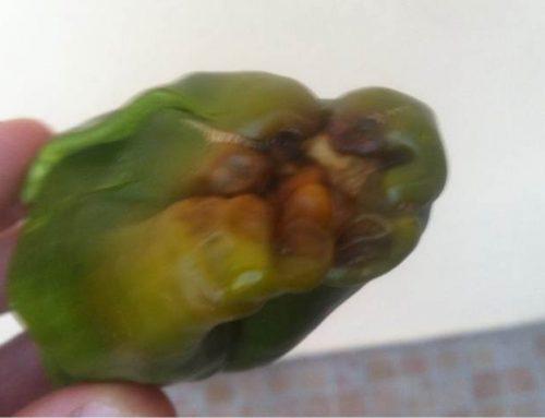 Marciume apicale nei peperoni