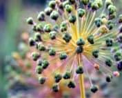 fiore del porro