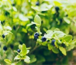 pianta dei mirtilli