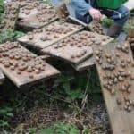 Come raccogliere le lumache