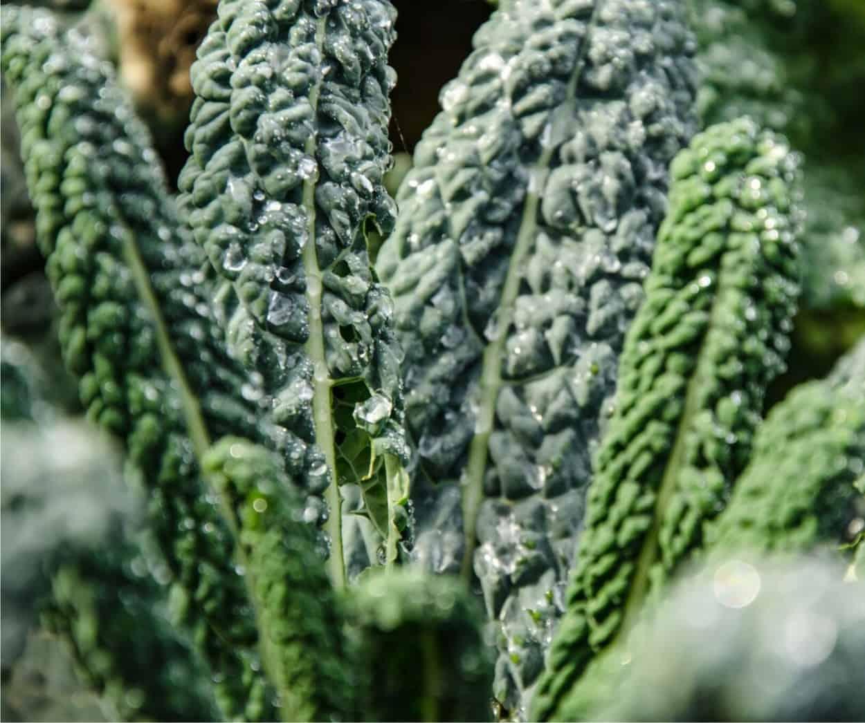 pianta di cavolo nero