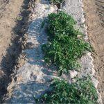 Pacciamatura naturale in Juta: biodegradabile e riciclata