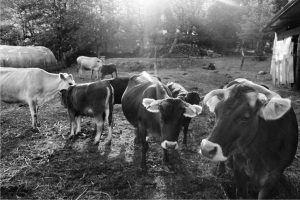 vacche razza cabbanina