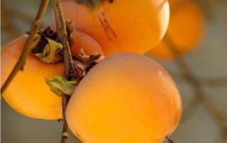 cachi, frutti pronti