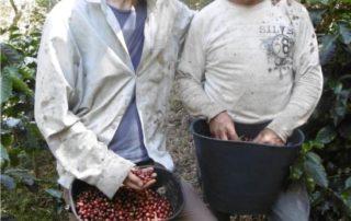 la coltivazione di caffè verde