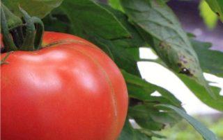 macerazione pomodoro