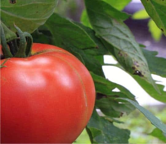 Macerato di pomodoro: contro la cavolaia