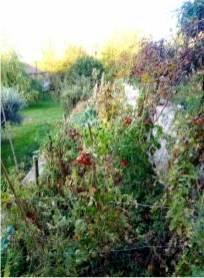pomodori tra le erbacce