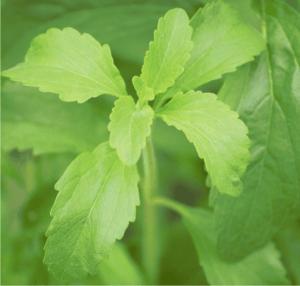 stevia rebaudana