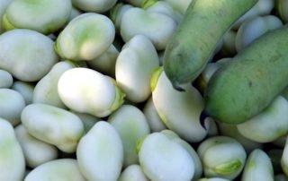 semi di fava