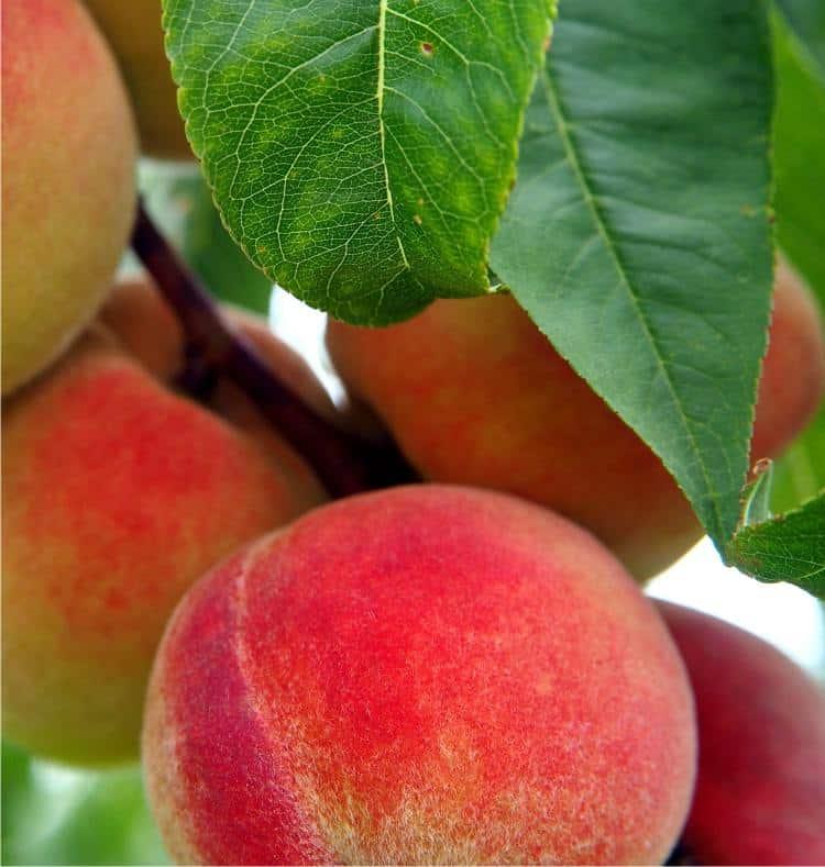 Guida al frutteto
