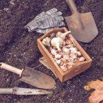 Seminare aglio in spicchi: distanze, profondità, luna