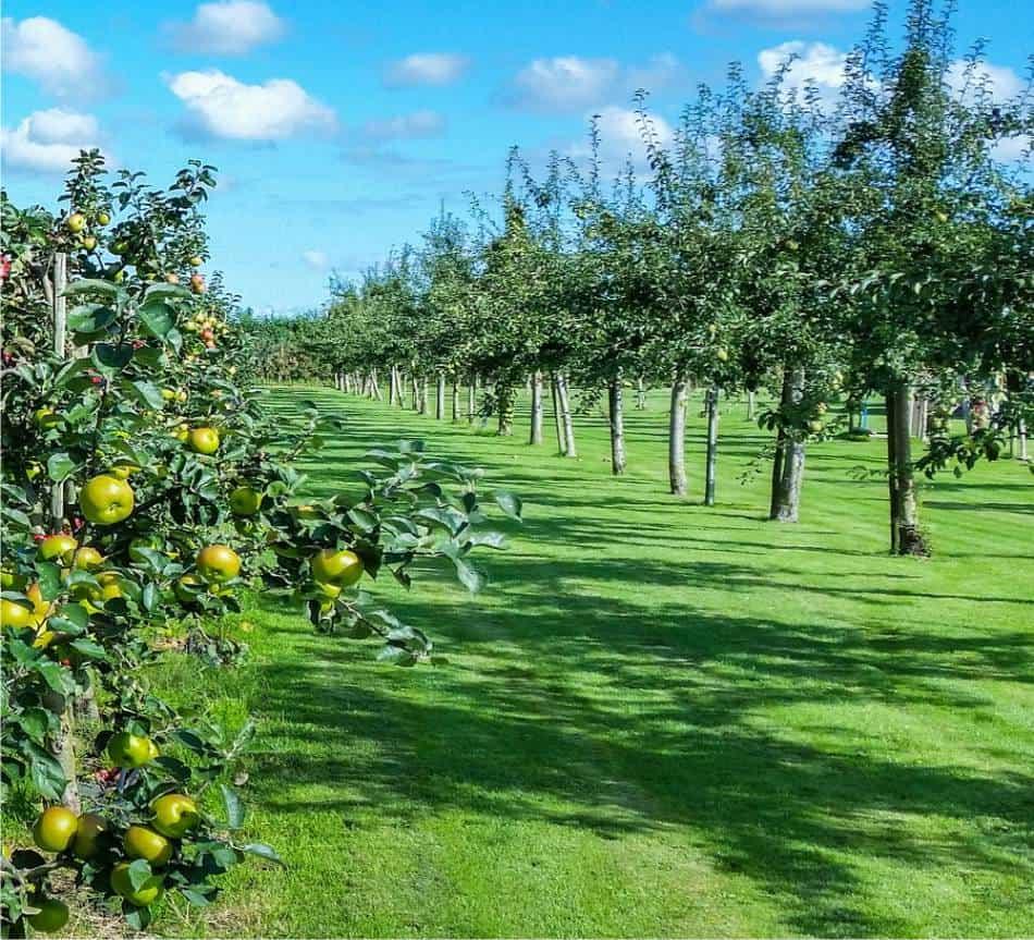 Alberi da frutto principali forme di allevamento for Alberi da frutto