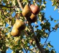 albero di pere: rami e frutti
