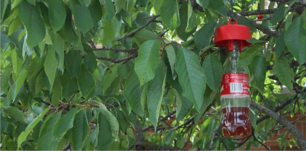 trappola per moscerino della frutta