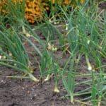 Parassiti della cipolla: riconoscerli e contrastarli