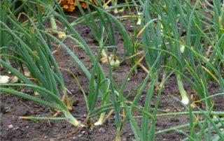 campo di cipolle
