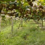 La potatura dell'actinidia: come potare i kiwi