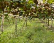 allevamento kiwi a doppia pergola