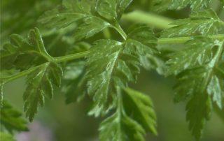 foglie di cerfoglio