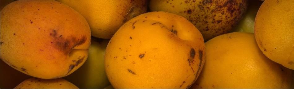 frutti: le albicocche mature