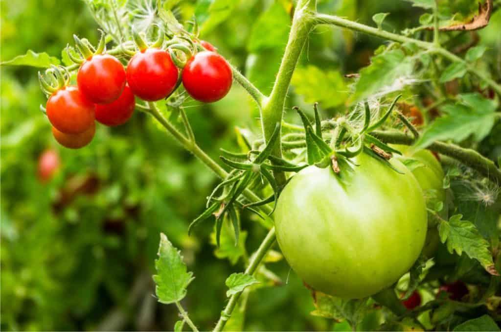 pomodori seminati