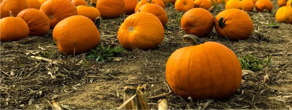 Zucca Di Halloween Quando Seminare.Capire Quando Raccogliere La Zucca