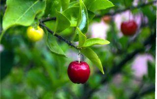 rami con ciliegie non malate
