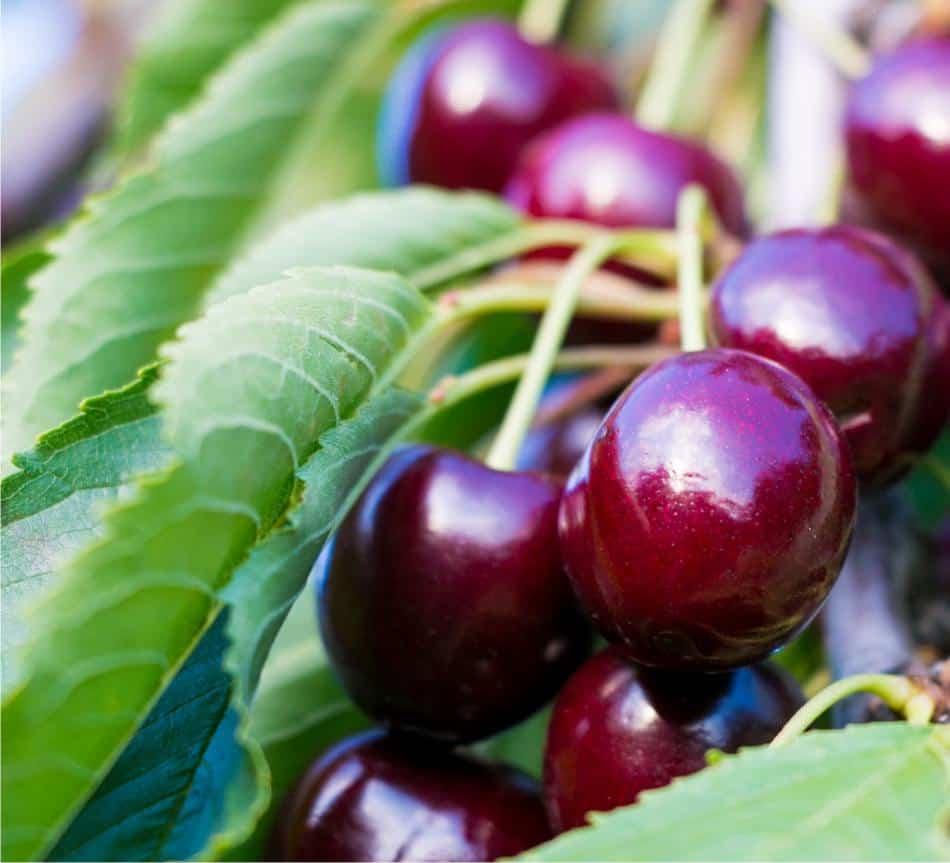 Albero di ciliegio: coltivazione naturale