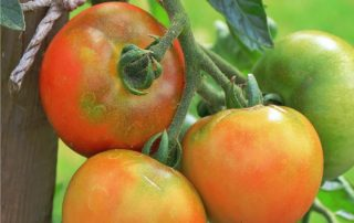pomodori in maturazione