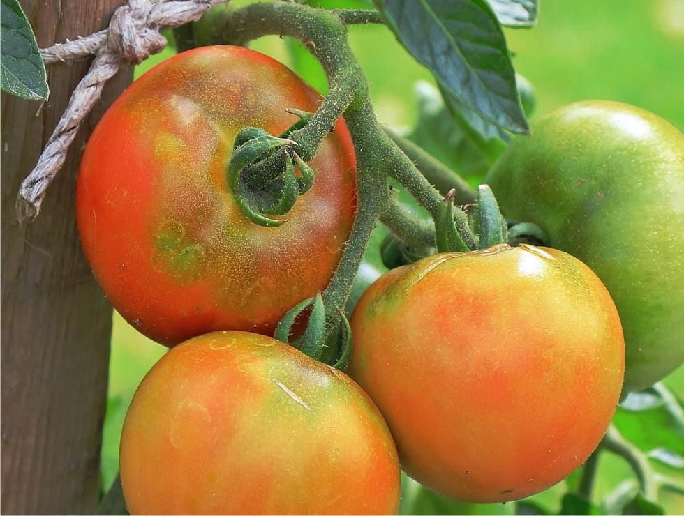 Botrite la muffa grigia sui pomodori for Malattie pomodoro
