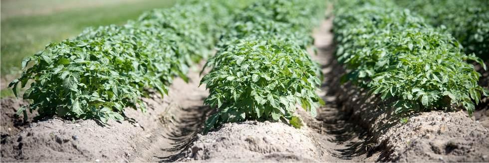 campo di patate rincalzato