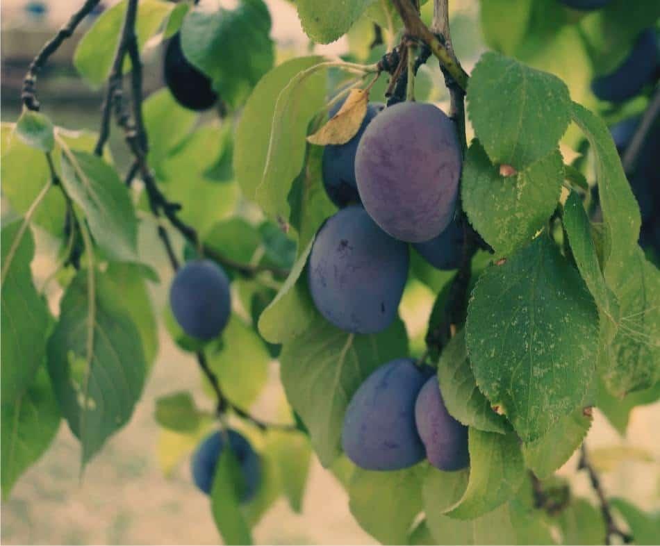 Calendario Innesti Piante Da Frutto.Susino E Prugno Coltivazione In Giardino O Frutteto Odc
