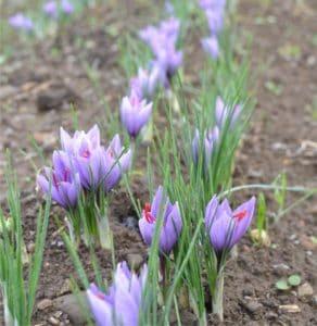 zafferaneto fiorito
