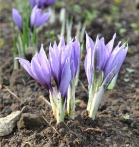 fioritura dello zafferano