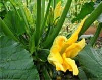 zucchine seminate con fiori