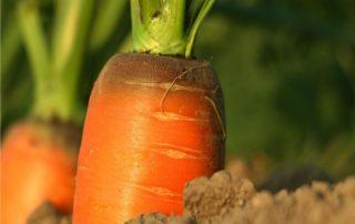 carote nell'orto