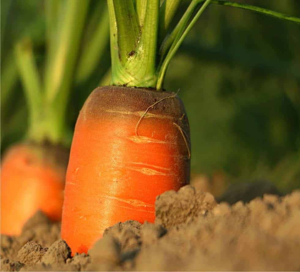 Come seminare le carote