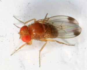 drosophila suzukii, il moscerino della frutta