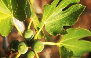 il fico, albero da frutto
