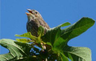 uccello sui rami di fico